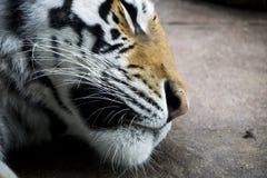 Zbliżenie tygrysa głowa Fotografia Royalty Free