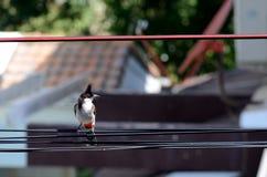 Zbliżenie wąsatego bulbul chwyta ptasi dragonfly na kablu fotografia stock