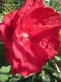 Zbliżenie w górę Czerwonego poślubnika kwiatu obrazy royalty free