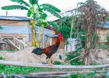 Zbliżenie Walczącego Cock/kogut na Wiejskim tle Fotografia Stock