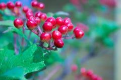Zbliżenie wiązki czerwone jagody Guelder wzrastał Zdjęcie Stock