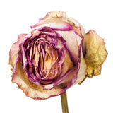 Zbliżenie więdnący, suszący róża płatki i Zdjęcia Royalty Free