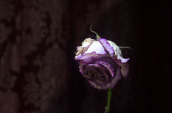 Zbliżenie więdnący, suszący róża płatki odizolowywający na czerni i Zdjęcia Royalty Free
