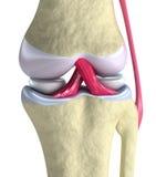 zbliżenie widok łączny kolanowy Zdjęcie Stock