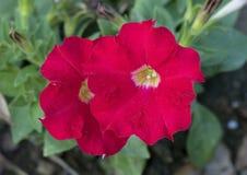 Zbliżenie widok czerwieni petuni płatki Fotografia Royalty Free