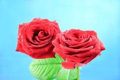 Zbliżenie widok dwa pięknej baccara róży z zielonymi liśćmi Zdjęcie Royalty Free