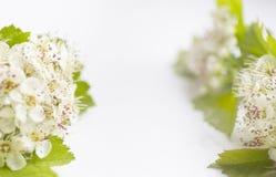 Zbliżenie widok głogowy okwitnięcie na białym tle Makro- wiosna kwiatu szablon Kwiecisty mockup dla powitania przestrzeń Obrazy Stock