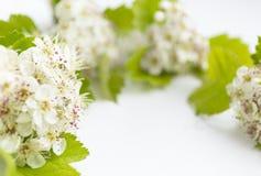 Zbliżenie widok głogowy okwitnięcie na białym tle Makro- wiosna kwiatu szablon Kwiecisty mockup dla powitania przestrzeń Obrazy Royalty Free