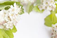 Zbliżenie widok głogowy okwitnięcie na białym tle Makro- wiosna kwiatu szablon Kwiecisty mockup dla powitania przestrzeń Fotografia Royalty Free