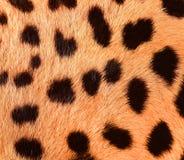 Szczegół dzika kot skóra Fotografia Royalty Free