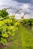 Zbliżenie widok winorośl z winnicą w tle fotografia stock