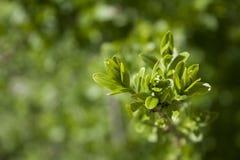 Zbliżenie widok wiosny zieleni liście na zamazanym greenery tle w ogródzie z kopii astronautyczny używać jako tło zdjęcia royalty free