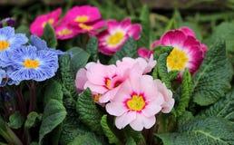 Zbliżenie widoku kwiatu kolorowy pierwiosnek, primula vulgaris Primula jest wiosny kwiatem Widok od above kwiecisty wzór fotografia stock