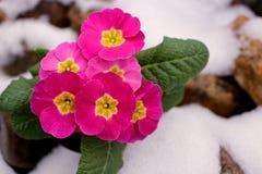 Zbliżenie widoku kwiatu primula w śniegu Wiosna kwiatu ornamentacyjny primula z zielonymi liśćmi Widok od above kwiecisty zdjęcie stock