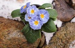 Zbliżenie widoku kwiatu primula w śniegu Wiosna kwiatu ornamentacyjny primula z zielonymi liśćmi Widok od above kwiecisty obrazy stock