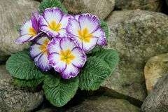 Zbliżenie widoku kwiatu primula Wiosna kwiatu ornamentacyjny żółty Primula z zielonymi liśćmi Widok od above kwiecisty obraz stock
