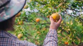 Zbliżenie wiek średni damy rolnik zbiera pomarańcze w gospodarstwie rolnym fotografia stock