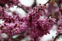 Zbliżenie wiele różowi Cercis kwiaty Kwiaty w kwiacie na czerwonobrunatnej gałąź w wiośnie fotografia royalty free
