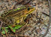 Zbliżenie wielka żaba Obrazy Stock