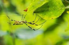 Zbliżenie wielki kolor żółty czarny ogrodowy pająk i Obrazy Royalty Free