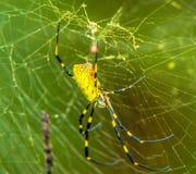 Zbliżenie wielki kolor żółty czarny ogrodowy pająk i Zdjęcie Stock
