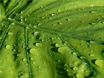 Zbliżenie wielki zielony Alocasia liść z kroplami podeszczowy ono ślizga się nad nim, tło roślina po deszczu