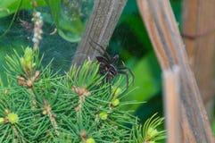 Zbliżenie wierzchołek sosna, pająk sieć i pająk, Fotografia Royalty Free