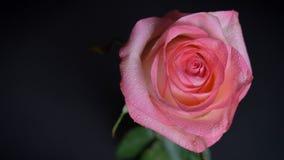 Zbliżenie wierzchołka krótkopęd oszałamiająco menchii róży kwiat z czułym płatka uin nightlight z odosobnionym tłem zdjęcie stock