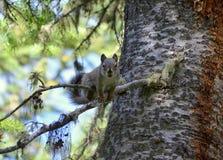 Zbliżenie wiewiórka w sośnie Zdjęcia Royalty Free