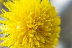 Zbliżenie wiosna, kwitnący dandelion 2 forsują pisklęca pojęcia Easter jajek kwiatów trawa malujących umieszczających potomstwa Fotografia Royalty Free