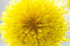 Zbliżenie wiosna, kwitnący dandelion 2 forsują pisklęca pojęcia Easter jajek kwiatów trawa malujących umieszczających potomstwa Zdjęcia Stock