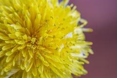 Zbliżenie wiosna, kwitnący dandelion 2 forsują pisklęca pojęcia Easter jajek kwiatów trawa malujących umieszczających potomstwa Zdjęcie Stock