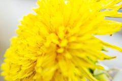 Zbliżenie wiosna, kwitnący dandelion 2 forsują pisklęca pojęcia Easter jajek kwiatów trawa malujących umieszczających potomstwa Zdjęcie Royalty Free