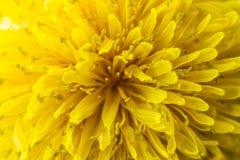 Zbliżenie wiosna, kwitnie, dandelion 2 forsują pisklęca pojęcia Easter jajek kwiatów trawa malujących umieszczających potomstwa Obraz Royalty Free