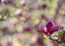 Zbliżenie wiosny magnolii kwiaty Naturalny kwiecisty wiosny tło z miękką ostrością i plamą Zdjęcie Royalty Free