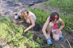 Zbliżenie wizerunek dwa nastoletniej dziewczyny odchwaszcza ogrodowego łóżko Żeńska ogrodnictwa pielenia świrzepa Zasadza trawy W Zdjęcia Royalty Free