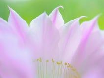 Zbliżenie wizerunek Piękny Różowy Kaktusowy kwiat na Zielonym tle Fotografia Stock