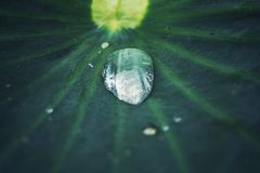 Zbliżenie, wodna kropelka na zielonych lotosowych liściach zdjęcia royalty free