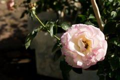 Zbliżenie wzrastał kwiaty na drzewie, Słodcy miłość pojęcia, Romansowi pojęcia, Makro- wizerunki Obraz Stock