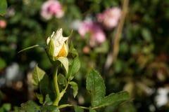Zbliżenie wzrastał kwiaty na drzewie, Słodcy miłość pojęcia, Romansowi pojęcia, Makro- wizerunki Obraz Royalty Free