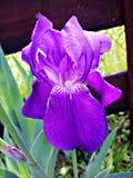 Zbliżenie z pięknym purpurowym Irysowym kwiatem Fotografia Royalty Free