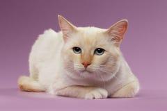 Zbliżenie Z przykrością Imbirowy kot z niebieskimi oczami na purpurach Zdjęcia Stock