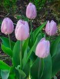Zbliżenie zamknięty pastel barwiący papuzi tulipan obrazy royalty free