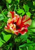Zbliżenie zamknięty pastel barwiący papuzi tulipan obraz stock