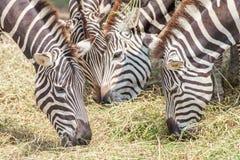 Zbliżenie zebry pasa trawy z zamazanym tłem w zoo Fotografia Royalty Free