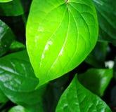 Zbliżenie zieleni liść Obrazy Royalty Free