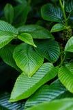 Zbliżenie zieleni liście Fotografia Stock