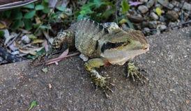 Zbliżenie zielona i żółta iguany jaszczurka czołgać się przez ogrodzenia na betonowym przejściu z splayed palec u nogi zdjęcie stock