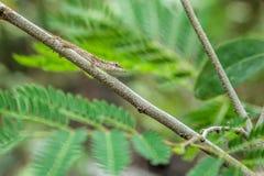 Zbliżenie Zielonej jaszczurki obsiadanie na gałąź Zdjęcia Royalty Free