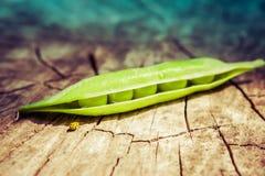 Zbliżenie zielony grochowy strąk i kolor żółty biedronka na drzewnym fiszorku Env Fotografia Royalty Free